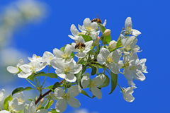 Flowers of an apple-tree and bee Stock Photos
