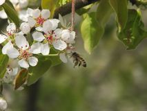 The flowers of the apple tree and the bee, which pollinates. In sping garden royalty free stock image