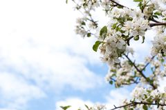 Flowers apple-tree royalty free stock images