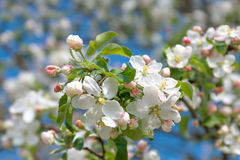 flowers of an apple-tree blossom in  spring Royalty Free Stock Photo
