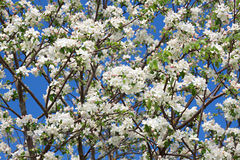 Flowers of an apple-tree blossom in the spring Royalty Free Stock Image