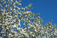 Flowers of an apple-tree blossom in the spring Stock Photo