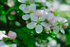 Flowers of apple tree blossom Stock Images