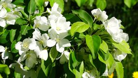 Flowers of apple tree blossoms stock video footage