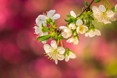 Flowers of apple tree on a bulr background Stock Photography