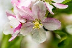 Flowers of apple tree Royalty Free Stock Photo