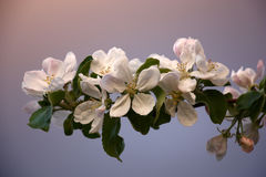 Flowers of an apple tree and the evening sky. Stock Images