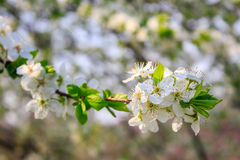 Flowers of apple tree on a grass Stock Image