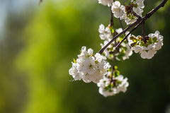 Flowers of apple tree on a green bush Royalty Free Stock Photography