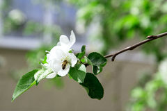 Flowers of apple tree Stock Photography