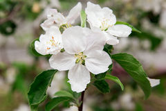 Flowers of apple tree Royalty Free Stock Images