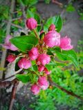 Flowers of apple-tree. The photo shows pink flowers of an apple tree with raindrops royalty free stock images