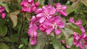 Flowers of the Apple-tree red color. Spring morning stock video footage