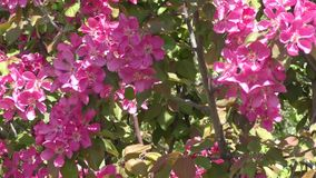 Flowers of the Apple-tree red color. Spring morning stock footage