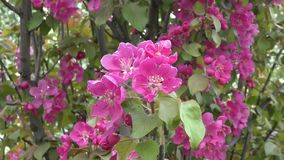 Flowers of the Apple-tree red color stock footage