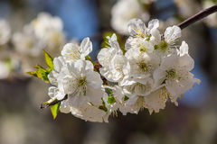 Flowers of apple tree on a self blur Stock Photos
