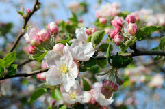 Flowers of an apple tree. Shallow depth of field. Focus on the front flowers Stock Photo