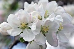 Flowers of an apple-tree Stock Photos