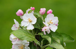 Flowers of Apple tree Stock Photo
