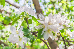 Flowers of an apple tree in spring day. The background is blurred Stock Images