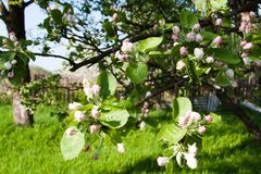 Flowers of an apple tree in a spring garden royalty free stock images