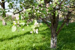 Flowers of an apple tree in spring sunny garden stock image