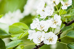 Flowers of apple tree Stock Images