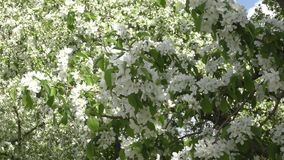 Flowers of the Apple-tree white color. Spring morning stock video footage