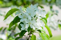 Flowers of the Apple-tree white color Stock Image