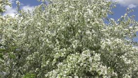 Flowers of the Apple-tree white color stock footage