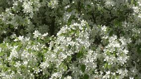 Flowers of the Apple-tree white color. Spring morning stock footage