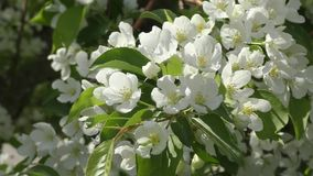 Flowers of the Apple-tree white color stock video footage