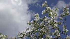 Flowers of the Apple-tree white color stock video