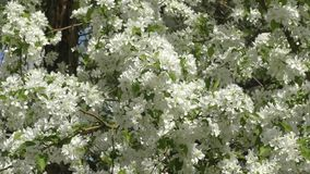 Flowers of the Apple-tree white color. Spring morning stock video