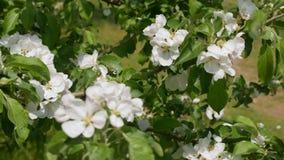 Flowers of apple tree in wind stock video