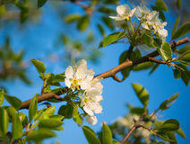Flowers of apple trees Royalty Free Stock Images