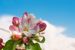 Flowers of apple trees Stock Photo