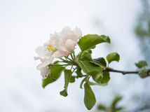 Flowers of apple trees Royalty Free Stock Photo