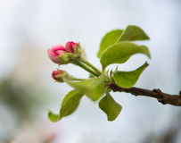 Flowers of apple trees Stock Photos