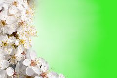 Flowers of apple trees Stock Images