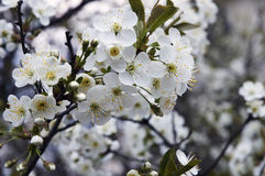 Flowers appletree Royalty Free Stock Image