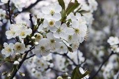 Flowers appletree. Beautiful white flowers of appletree Royalty Free Stock Image