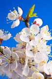 Flowers of apricot Royalty Free Stock Images