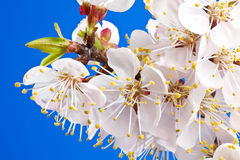 Flowers of apricot Royalty Free Stock Photography
