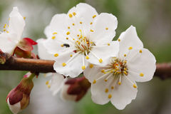 Flowers of the apricot. The flowers of apricot with the small beetle Stock Image