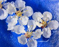 Flowers of apricot floating in water Stock Photos