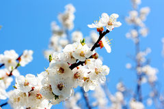 Flowers of an apricot tree stock photos
