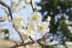 Flowers of apricot Stock Photography