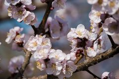 Flowers of an apricot tree Stock Photo