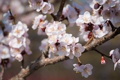 Flowers of an apricot tree Royalty Free Stock Photos